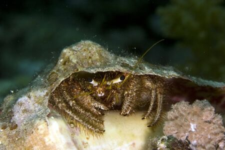 reef hermit crab (dardanus lagopodes) photo