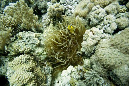 coralgrouper: anemonefish (Amphipiron bicinctus) and magnificent anemone Stock Photo
