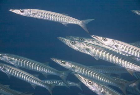 barracuda: Great Barracuda juv.(Sphyraena barracuda)