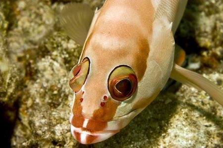 epinephelus: Blacktip grouper (Epinephelus fasciatus) Stock Photo