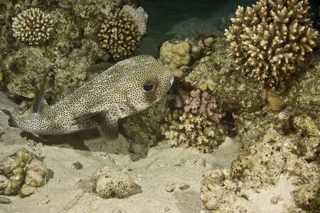 Porcupine fish (Diodon hystrix) photo