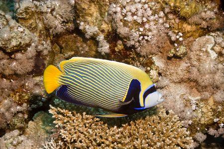 pomacanthus: Emperor Angelfish (Pomacanthus imperator) Stock Photo