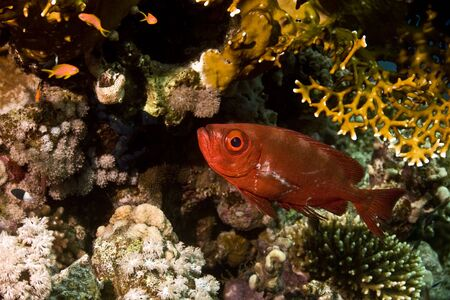 Cresent-tail bigeye (Priacanthus hamrur) photo