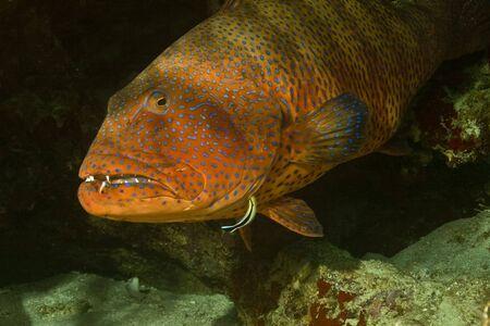 coralgrouper: Red sea coralgrouper (Plectropomus pessuliferus)