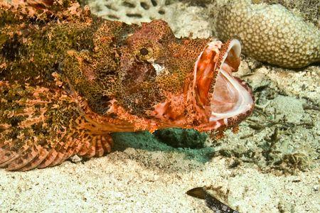 scorpionfish: Smallscale scorpionfish (Scorpaenopsis oxycephala) Stock Photo