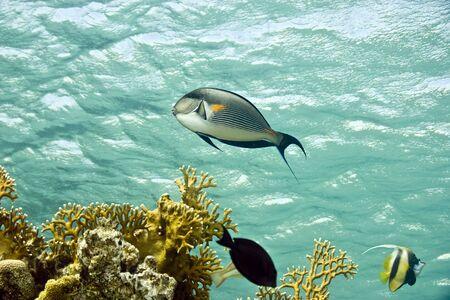 sohal: Sohal surgeonfish (Acanthurus sohal)