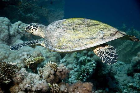 bannerfish: Hawksbill turtle (Eretmochelys imbricata)