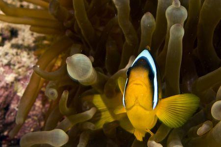 Red sea anemone fish (Amphipiron bicinctus) and bubble anemone photo