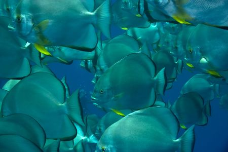 coralgrouper: orbicular spadefish (platax orbicularis) Stock Photo