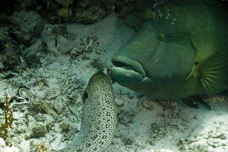 undulatus: Napoleon wrasse (cheilinus undulatus) and giant moray (gymnothorax javanicus)