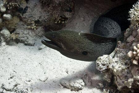 giant moray (gymnothorax javanicus) photo