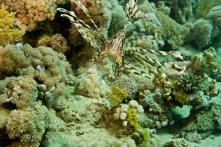 bubble sea anemone: lionfish (pterois miles)