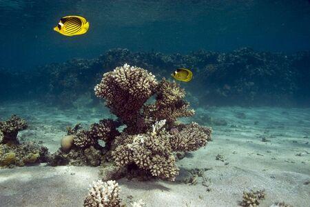 butterflyfish: raccoon butterflyfish (chaetodon fasciatus)