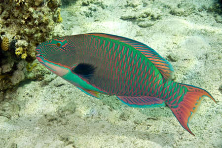parrotfish Stock Photo - 4276296