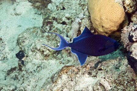bluethroat triggerfish (sufflamen albicaudatus) photo