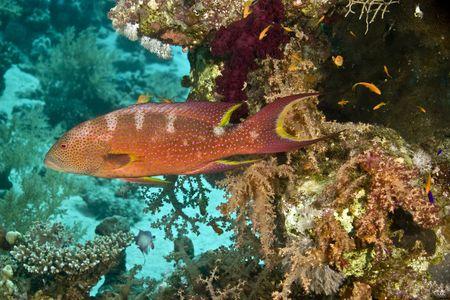 lyretail: lyretail grouper (variola louti) Stock Photo
