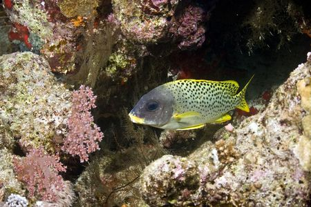 blackspotted: blackspotted sweetlips (plectorhinchus gaterinus)