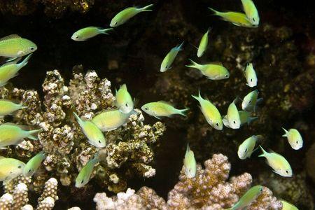 bluegreen chromis (chromis viridis) photo