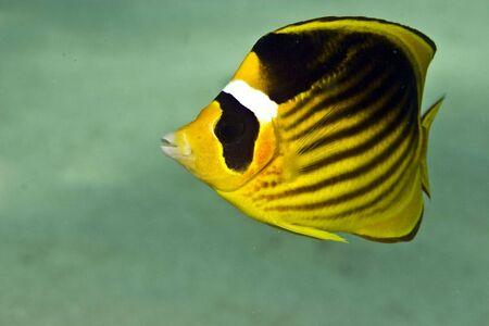 raccoon butterflyfish (chaetodon fasciatus) Stock Photo - 4276159