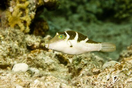 coralgrouper: crowned toby (canthigaster coronata)
