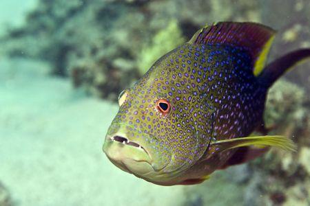 lyretail grouper (variola louti) photo