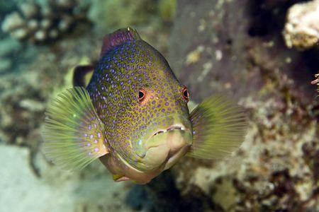 coralgrouper: lyretail grouper (variola louti) Stock Photo