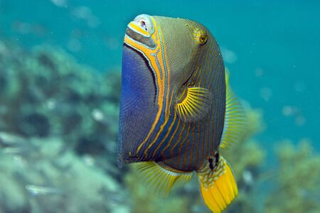 triggerfish: orange-striped triggerfish (balistapus undulatus)
