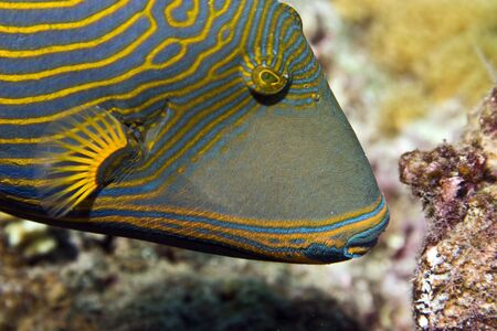 orange-striped triggerfish (balistapus undulatus) photo