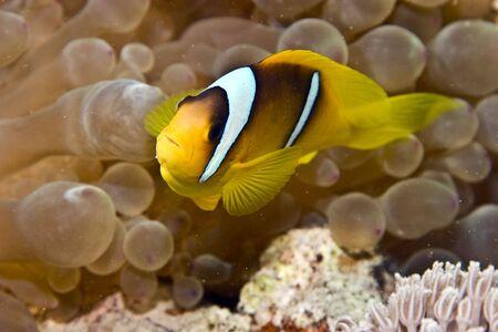 anemonefish (Amphipiron bicinctus) and bubble anemone photo