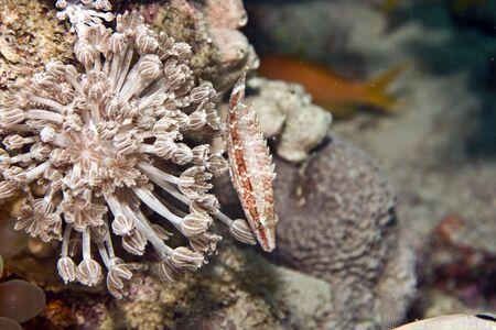 longnose hawkfish (cirrhitus pinnulatus) photo