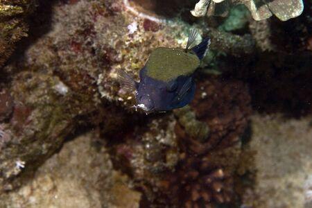 bluetail trunkfish (ostracion cyanurus) Stock Photo - 4274901