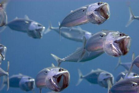 coralgrouper: striped mackerel (rastrelliger kanagurta)