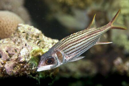 spotfin squirrelfish (neoniphon sammara) photo