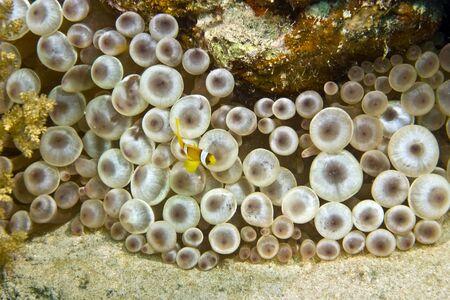 bannerfish: anemonefish (Amphipiron bicinctus) and bubble anemone Stock Photo
