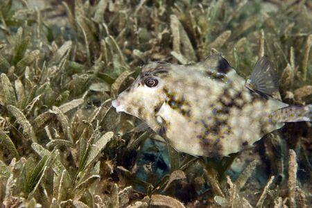 coralgrouper: thornback boxfish (tetrasomus gibbosus)