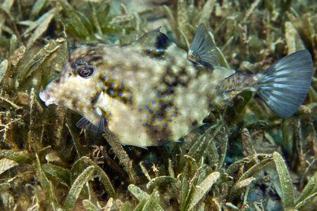 blenny: thornback boxfish (tetrasomus gibbosus)