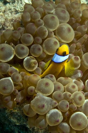 bubble sea anemone: anemonefish (Amphipiron bicinctus) and bubble anemone Stock Photo