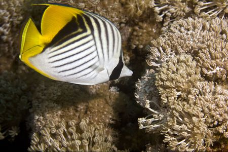 bubble sea anemone: threadfin butterflyfish (chaetodon melapterus)