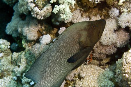 red mouth grouper (aethaloperca rogaa) photo
