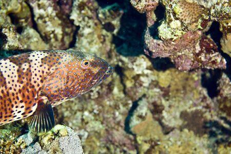 taeniura: Red sea coralgrouper (Plectropomus pessuliferus)