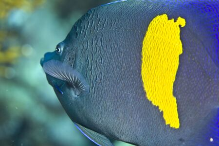 pomacanthus: Red sea angelfish (Pomacanthus maculosus)