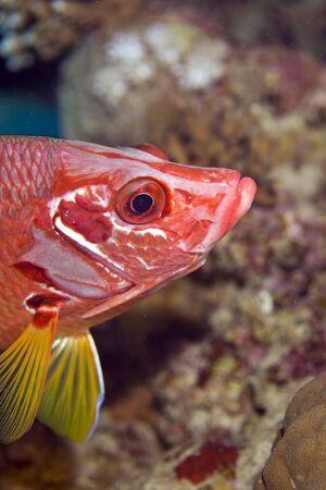 longjawed squirrelfish (sargocentron spiniferum) photo