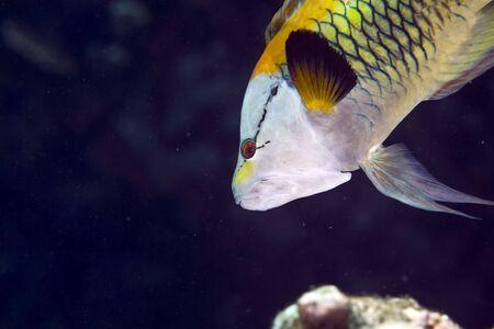 coralgrouper: slingjaw wrasse (epibulus insidiator)