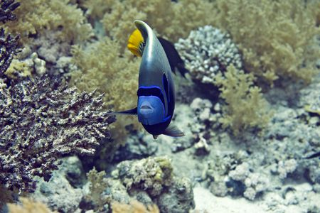 pomacanthus imperator: Emperor Angelfish (Pomacanthus imperator) Stock Photo
