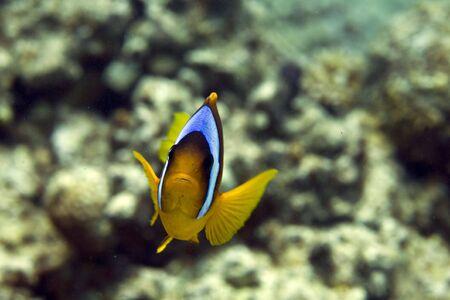 coralgrouper: Red sea anemonefish (Amphipiron bicinctus)