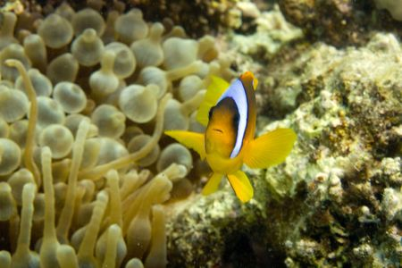 Red sea anemonefish (Amphipiron bicinctus) and bubble anemone Stock Photo - 4274570