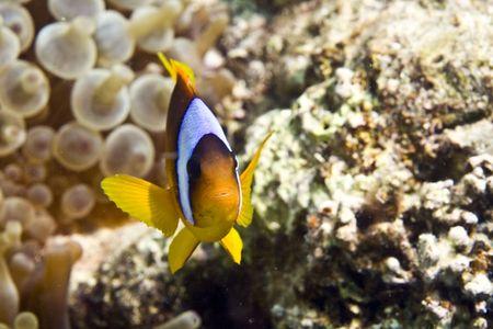 Red sea anemonefish (Amphipiron bicinctus) and bubble anemone Stock Photo - 4274492