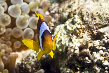Red sea anemonefish (Amphipiron bicinctus) and bubble anemone Stock Photo - 4274492