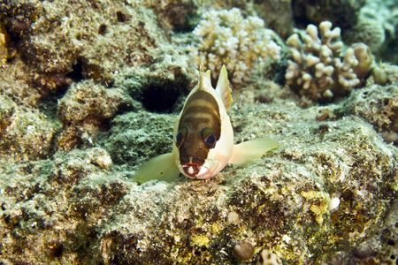 epinephelus: blacktip grouper (epinephelus fasciatus)
