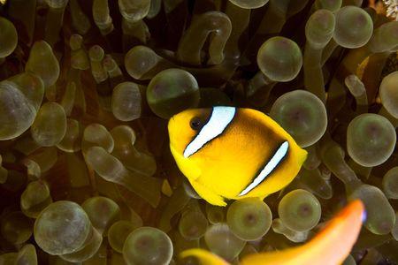 Red sea anemonefish (Amphipiron bicinctus) and bubble anemone Stock Photo - 4274454